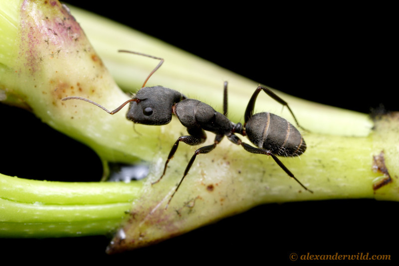 Camponotus sp. gathering water from a plant stem after a rain.  Gamboa, Panama