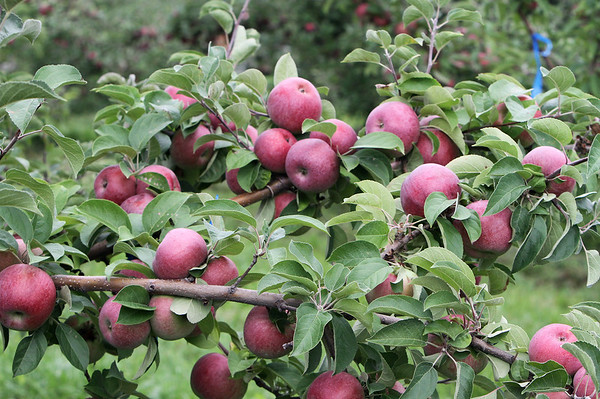 Apple harvest Westford 092018