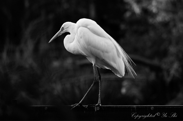 Great Egret_20071209_037 copy 2.jpg