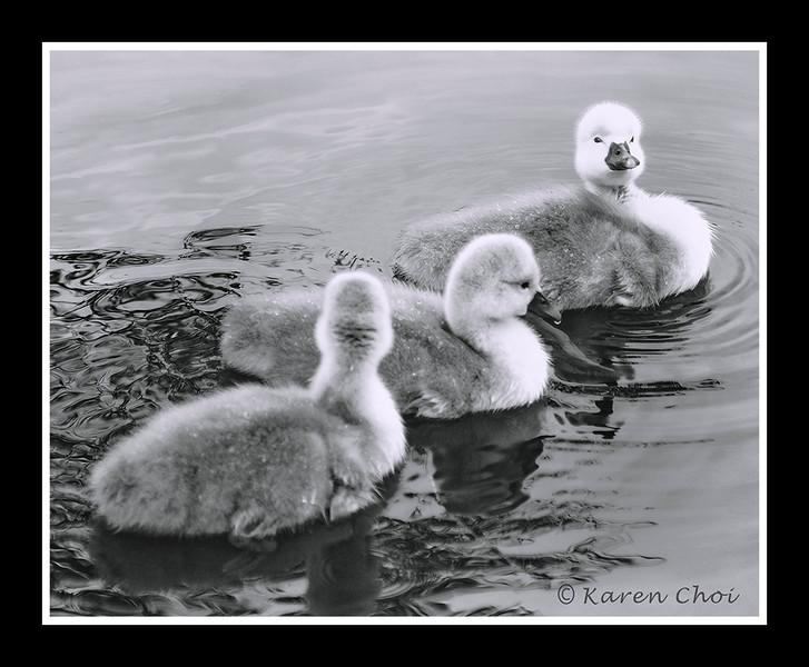 3 baby swans B&W sm.jpg