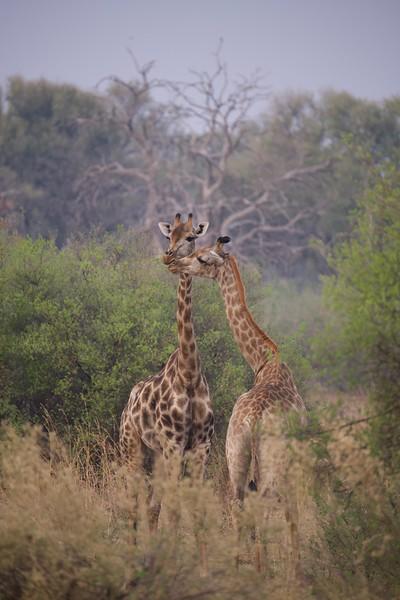 Giraffes, Selinda Explorer camp, Botswana