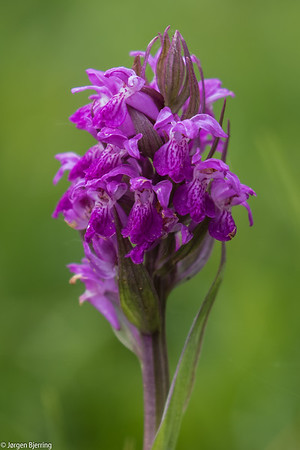 Broad-leaved Marsh Orchid - Maj-Gøgeurt