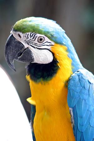 Macaw, Blue & Yellow