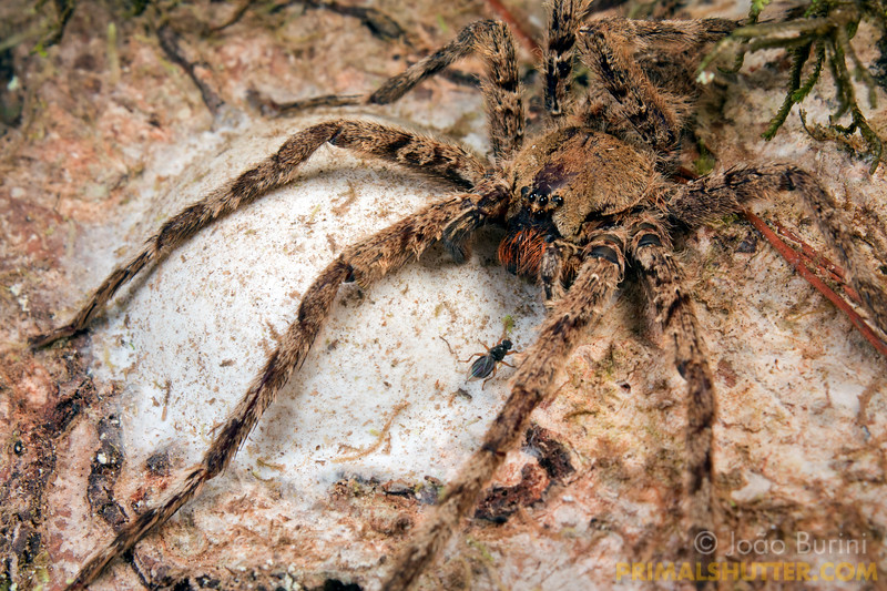 Wandering spider guarding her eggsac