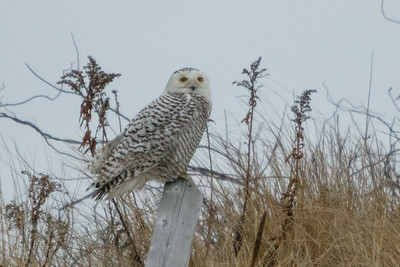2018-02-17 Snowy Owl