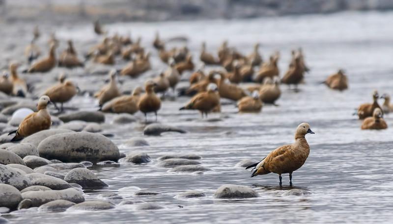 Brahminy-Ducks.jpg