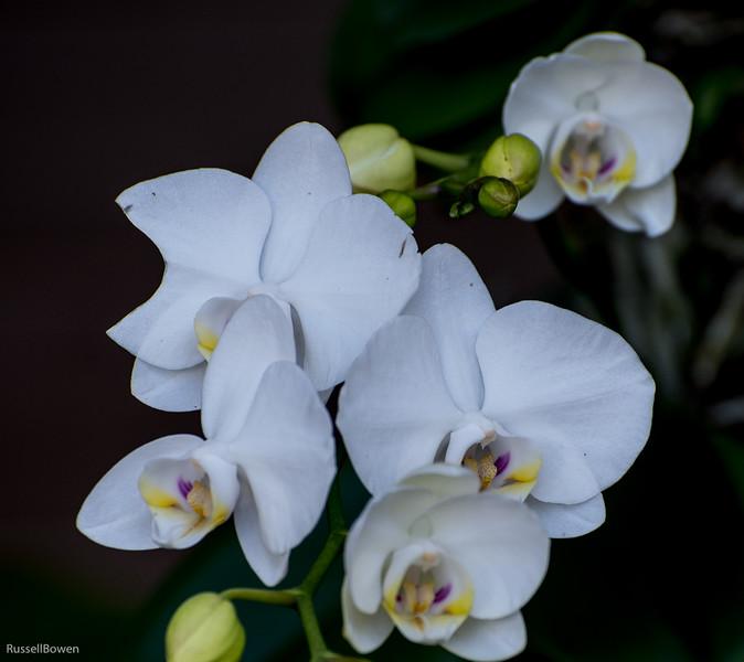 White Orchids-1.jpg