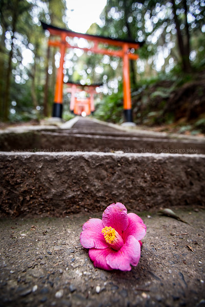 Camellia at Fushimi Inari Taisha