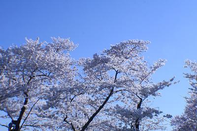 2007 Cherry Blossoms - Wash, DC