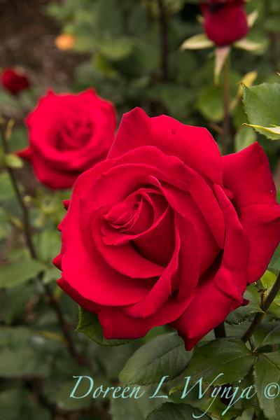 Rosa hybrid tea 'Veteran's Honor' red rose_3084.jpg