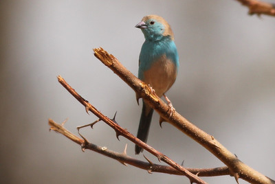 Blue-breasted Cordonbleu (Blue Waxbill)
