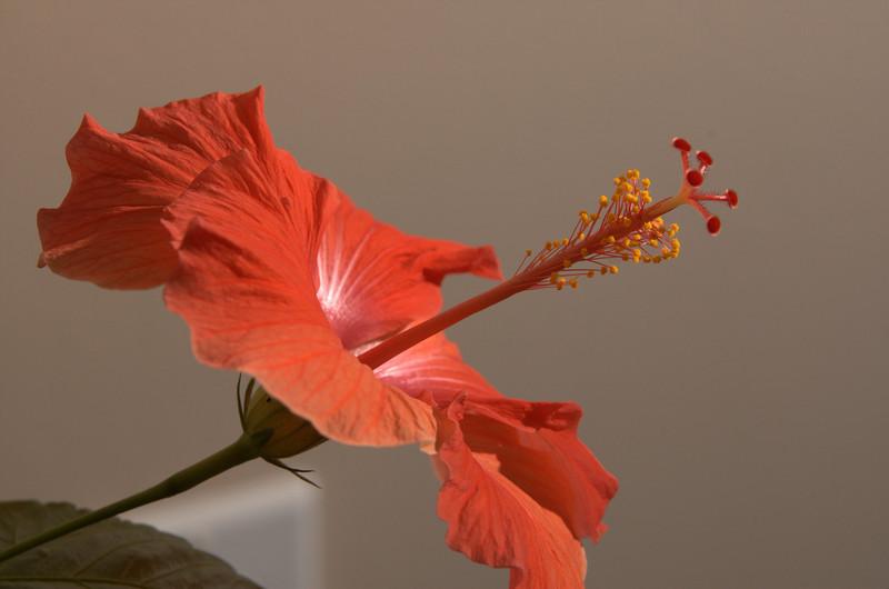 Red Hibiscus 1
