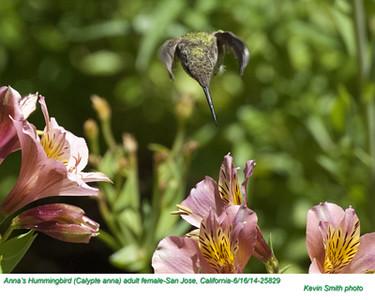 Anna's Hummingbird F25829.jpg