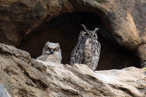 Nyoka Cliff Owls