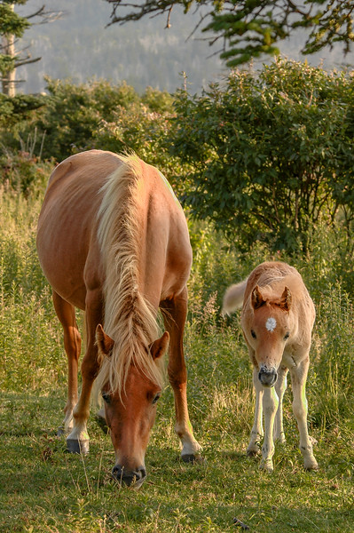 Wild Pony and Foal #5, MR
