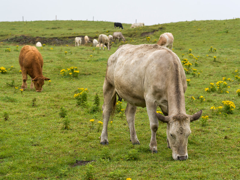 Herd of cattle grazing on landscape, Cliffs of Moher, Lahinch, County Clare, Ireland