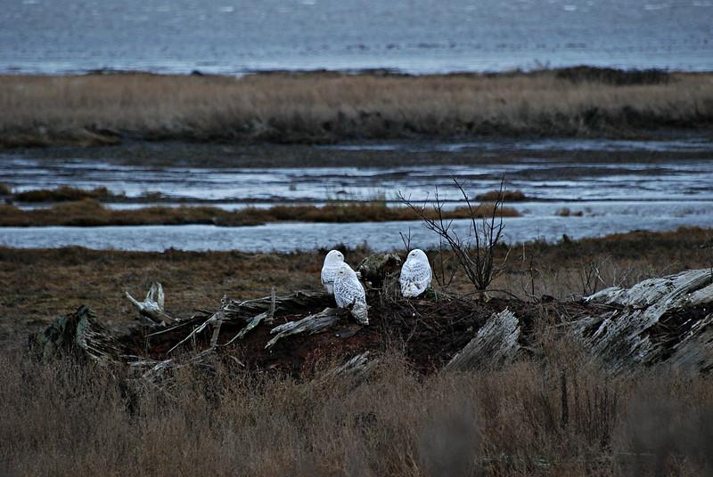 Snowy Owls, Boundary Bay B.C Canada