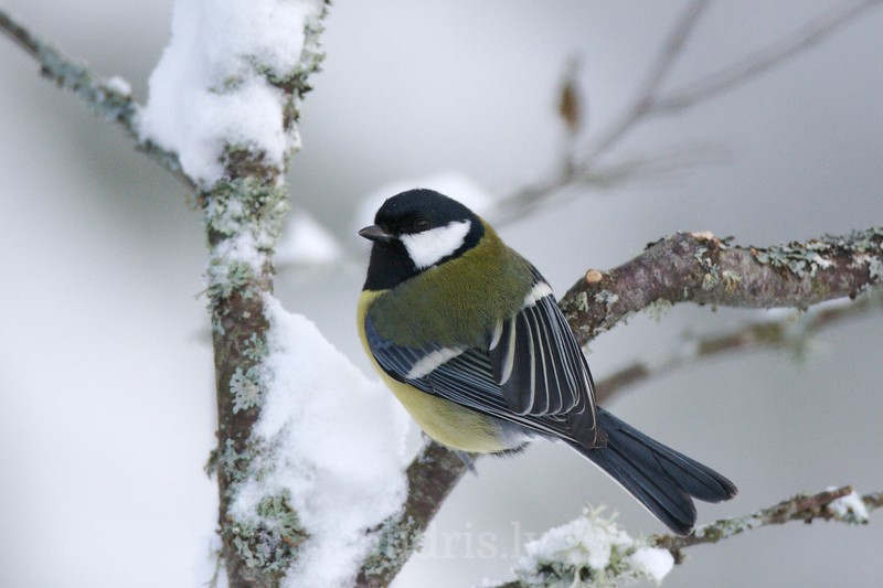 Pearched Greate Tit in winter