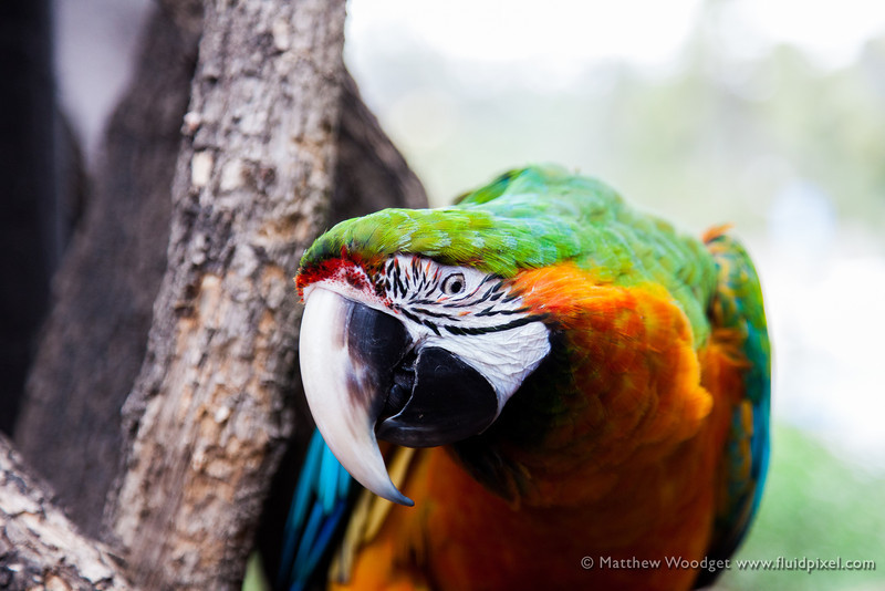 Woodget-130608-020--Bird, colorful, parrot.jpg