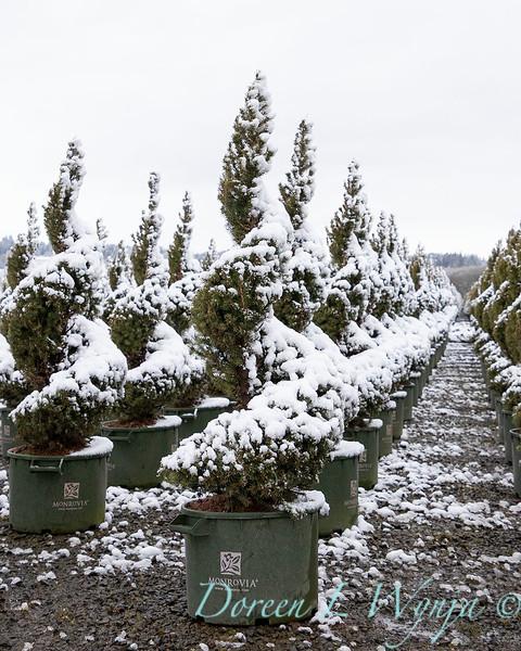 Picea glauca 'Conica' spirals - can yard in snow_4116.jpg