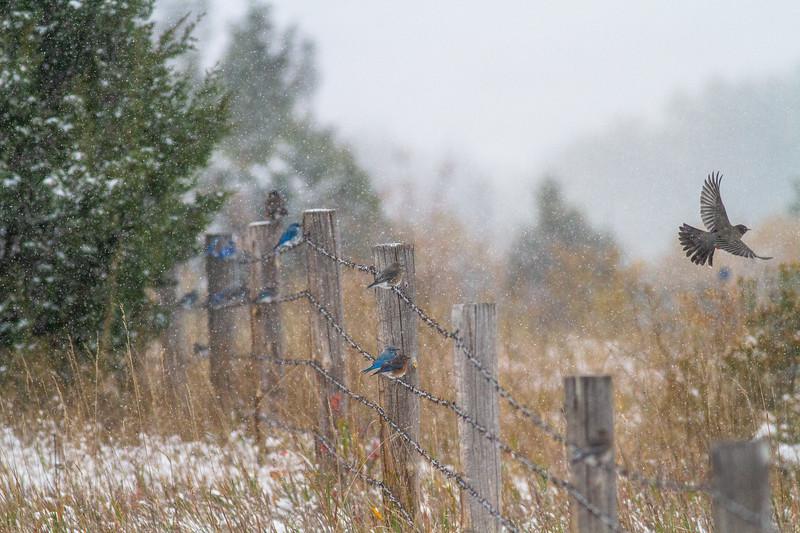 Mountain Bluebird flock on barbed wire fence in snow Theodore Roosevelt National Park Medora ND -1802.jpg