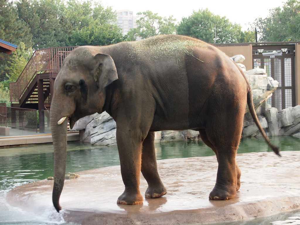 . Watch zookeepers care for bull elephants or watch elephants bathe at the Toyota Elephant Passage at the Denver Zoo.  Photo provided by Kara Williams