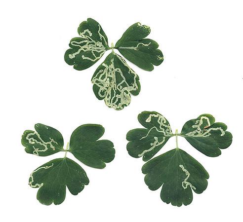 leafminers1.jpg
