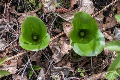 Araceae Kallaväxter