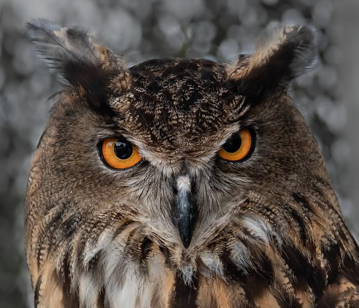 "Eurasian Eagle Owl ""Oliver"""