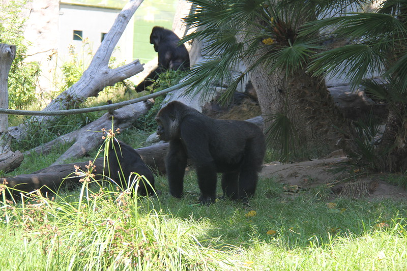20170807-147 - San Diego Zoo - Gorilla.JPG