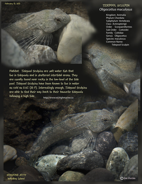 TIDEPOOL SCULPIN   ( Oligocottus maculosus ).  Keystone Jetty, Whidbey Island. February 19, 2013