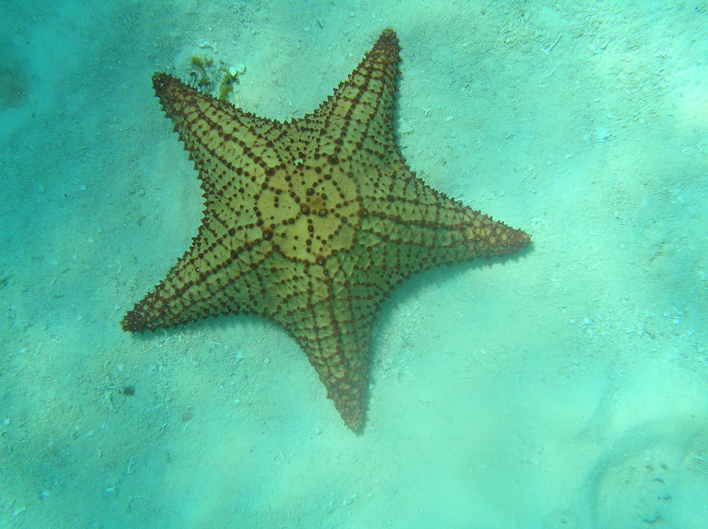 . A starfish rests at the bottom of the sea during a snorkeling trip off Cozumel.  (Juan Miguel Sansores/Special to the Denver Post)