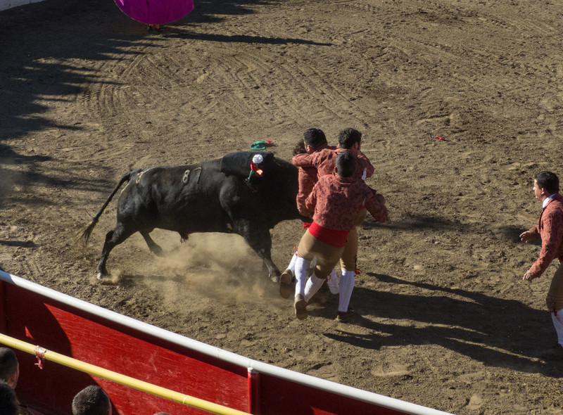 """High speed still sequence: (Next 3 photos) The Forcados go for a FOURTH try of """"pega de cara"""" with the same bull."""