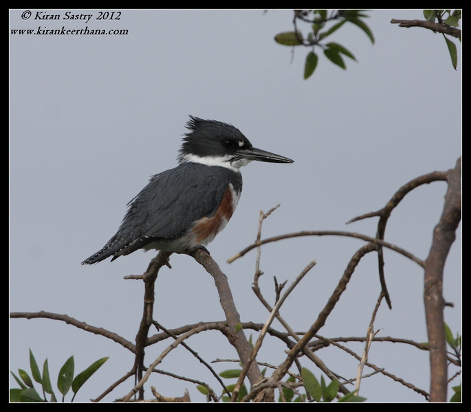 Female Belted Kingfisher, Robb Field, San Diego River, San Diego County, California, February 2012