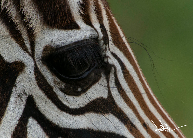 ZebraS-30.jpg