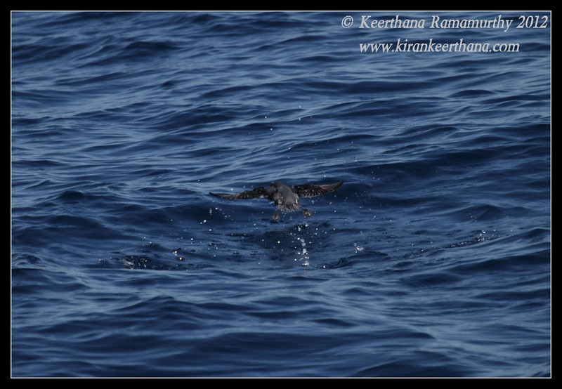 Cassin's Auklet taking off, Whale Watching trip, San Diego County, California, November 2012