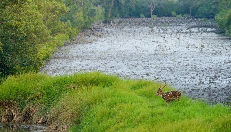 Spotted-deer-sundarbans.jpg