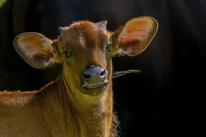 Gaur-calf.jpg