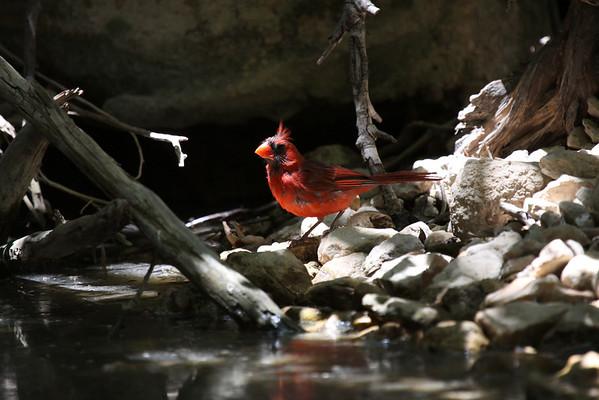 Cardinals (Cardinalidae)