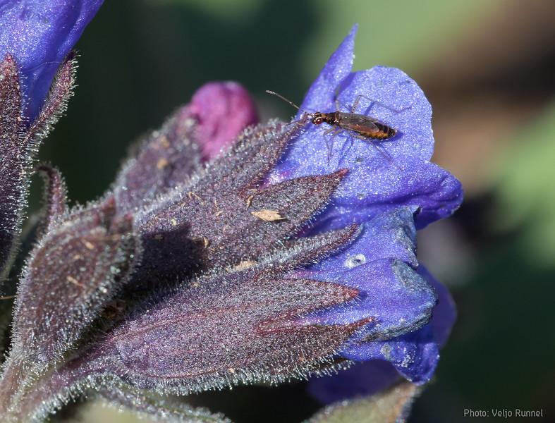 Dicyphys sp. on Pulmonaria mollis