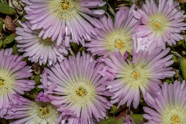 Native ice plant - Disphyma australe