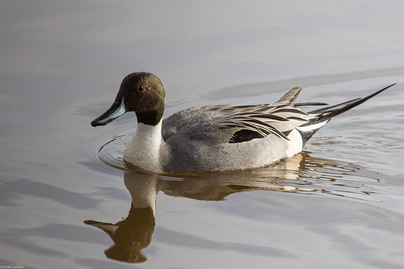 Pintail in the Sun