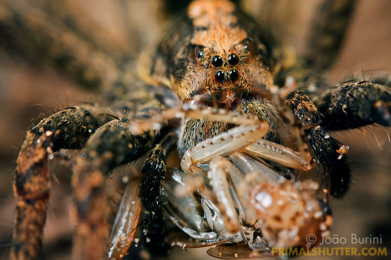 Wandering spider preying on a cockroach