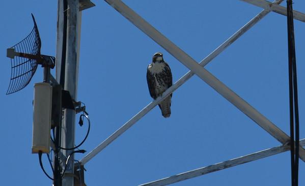 Un-ID'd Hawks in Downtown Brunswick 07-10-18
