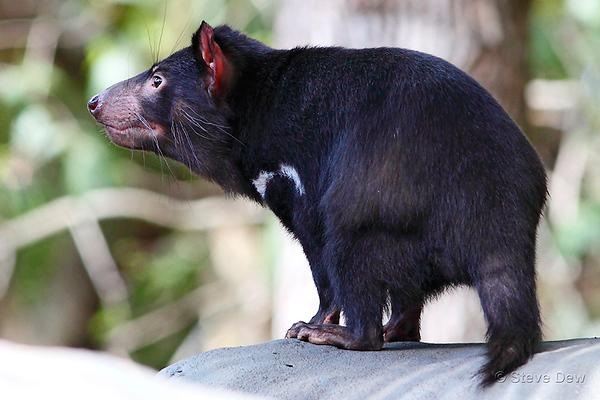 Carnivorous Marsupials