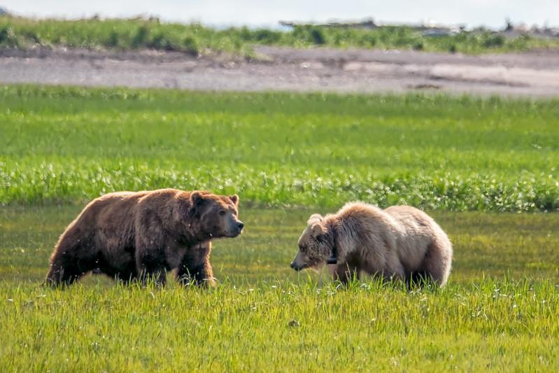 Bear 3, Katmai National Park