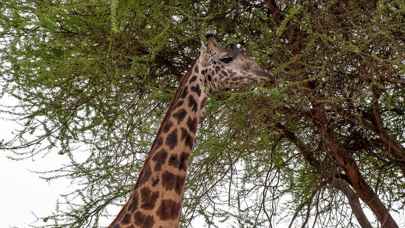 Tanzania-Tarangire-National-Park-Safari-Giraffe-04.jpg