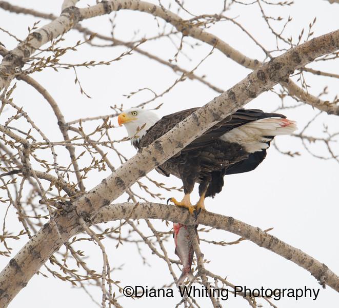 Bald Eagle 14.jpg