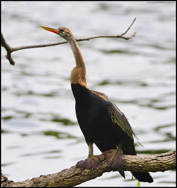Oriental Darter....my bad...missed thinking about the branch, cutting across the bird... :(... A lesson in composition.....for me....