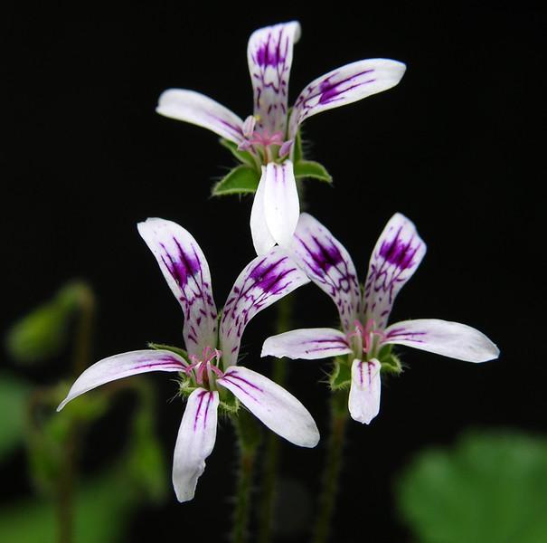 Pelargonium caledonicum flowers